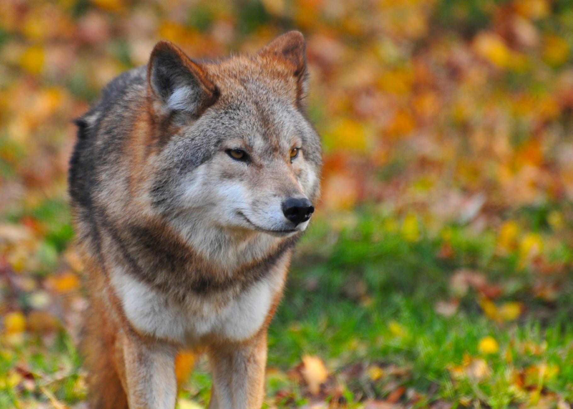 legende-de-hongerige-wolf